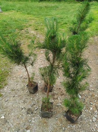 Sosna kalifornijska sadzonki młode drzewka w doniczkach