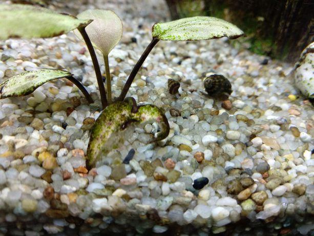 Ślimaki Helenki małe i duże
