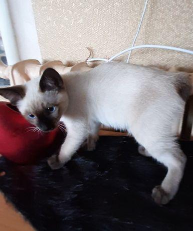 котята меконгский бобтеил