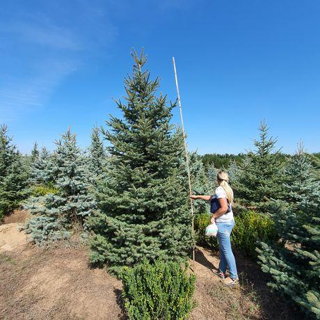 Ель елка ялинка голубая под высадку. Крупномер