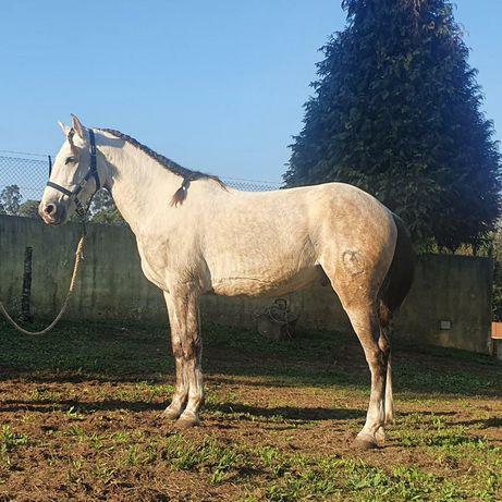 Cavalo muito manso, com 5anos, bem montado e bem engatado
