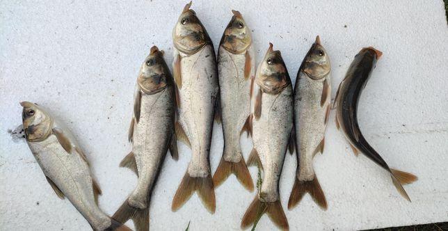 Зарыбок  Малёк живая рыба толстолоб