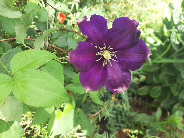 Клематис фиолетовый кусты