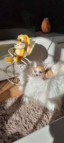 Chihuahua Macho pêlo curtinho maravilhoso criador registado DGAV