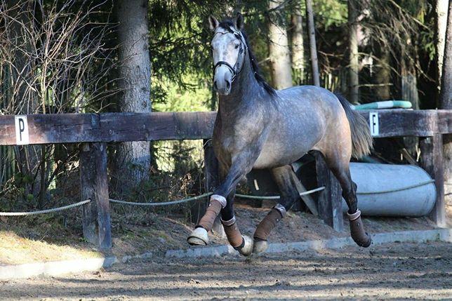Piękny duży andaluz PRE z super ruchem i charakterem koń