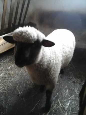 Baran czarnogłówka +owca zakocona