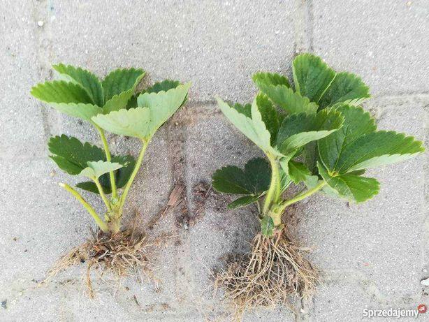 Sadzonki truskawek kilka odmian