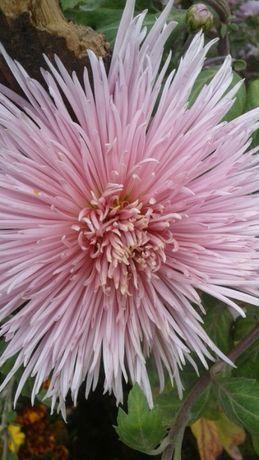 Хризантеми великоквіткові різні сорти