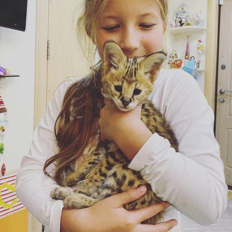 Домашние котята Сервала, ручные Сервалы с питомника. По Украине