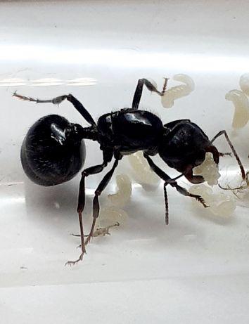 Mrówki Messor barbarus