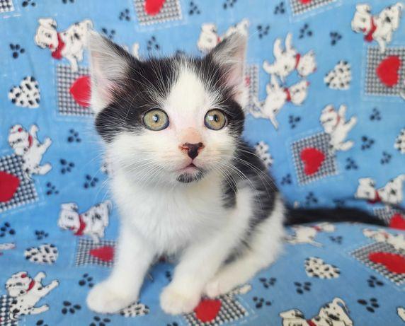 Двухцветное дитя Твикс (5 месяцев) котик, кот, кошка, котенок