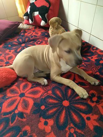 Amstaff American Staffordshire Terrier