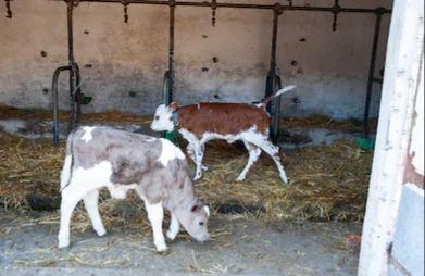 Mięsne byczki i jałóweczki