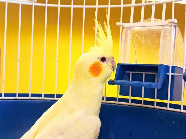 Nimfa papuga tzw. małe kakadu
