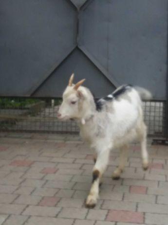 Продається 3-ох місячна коза