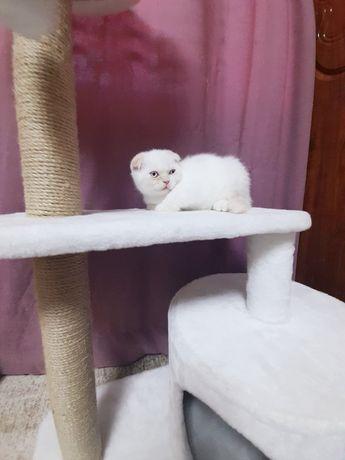 Чистокровные котята шотландские, вислоухие, лилак-пойнт, фолд, Одесса