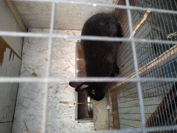 Продам самцов помесных кроликов ( Полтавское серебро+венский голубой)