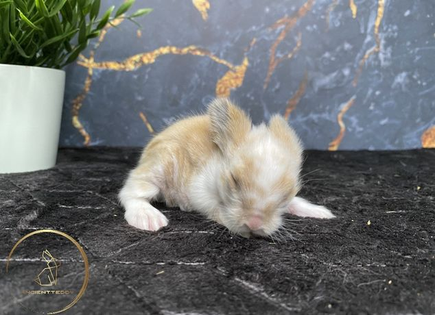 Królik karzełek Teddy , królikczki karzełki Teddy