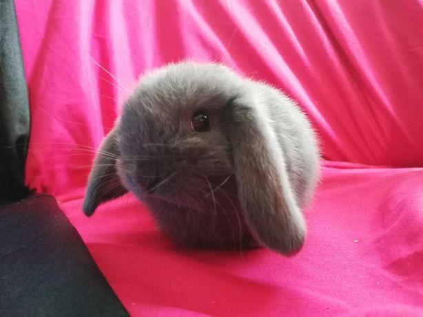 Баранчики карликові, висловухі кролики. Декоративні