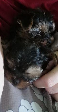 YorkShire terrier chłopiec