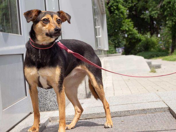 Шоколадная красотка собака Дана(1 год)привита, звоночек,Стерильна