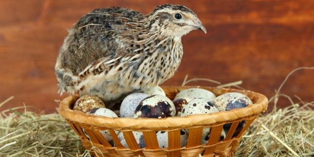 Przepiórki kurki młode zaczynają znosić jajka