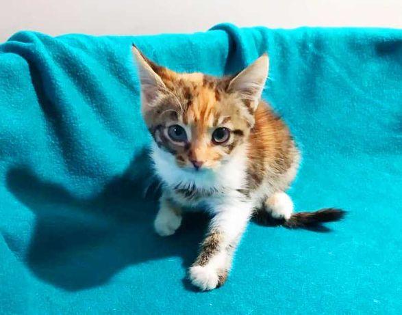 Крошечка красавица Джели, 1.5 мес, трехцветная малышка, котенок, кот