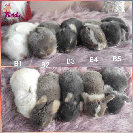 Królik króliczki Karzełek Mini Lop. Mini lopy miot B