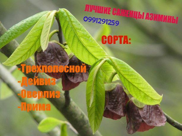 Азимины (Саженцы)