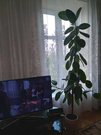 SPRZEDAM kwiat FIKUS wys .ok 2 m