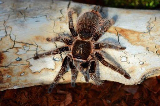 малыш паук птицеед павук новичку тарантул недорого подарок сыну дочке