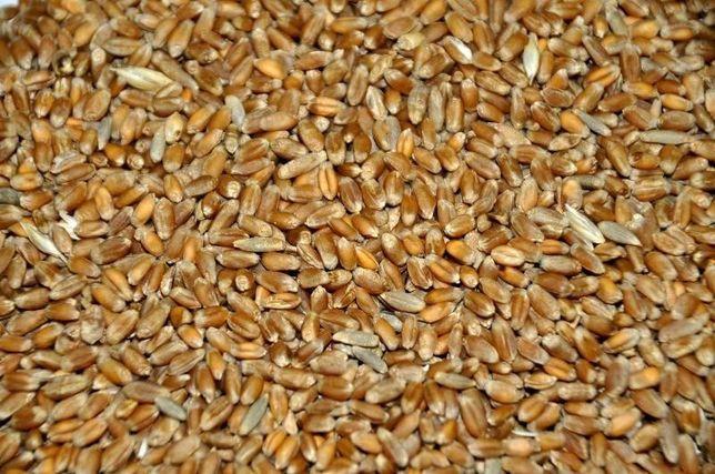 Пшеница для корма животных
