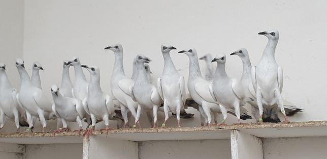 """Ptaki - choroba w gołębniku ..ADENO"""""""