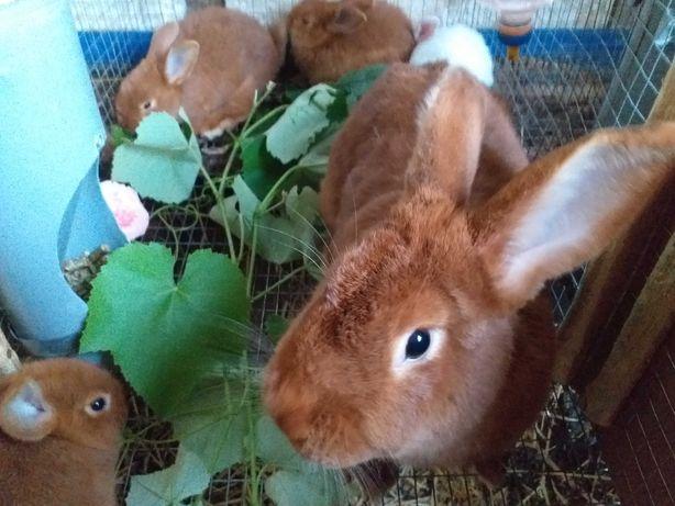 Кролики новозеландские