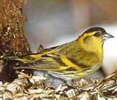 Певчая птичка звоните