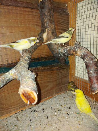 Kanarki samce i samice