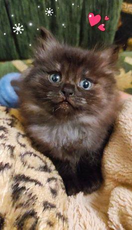 Котенок - метис сибирского кота