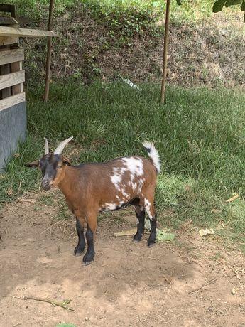 Cabra anã mansa