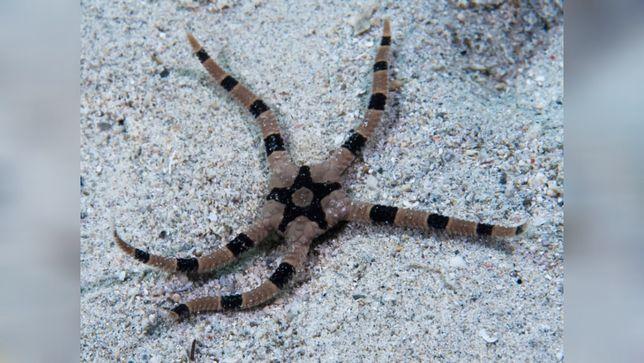 Akwarium morskie - Ophiomastix sp -