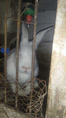 Продам Кроликов,Белый великан , Калифорния
