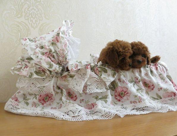 Teddy teacup poodle