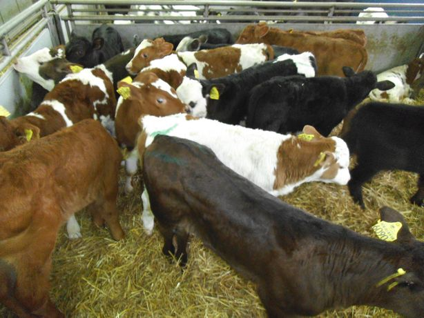 Cielęta Byczki, Jałówki do hodowli, Mięsne, dobra jakość, dowóz
