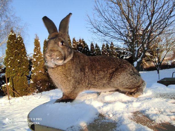 króliki olbrzymy belgijskie samce