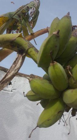 Vendo bananeiras