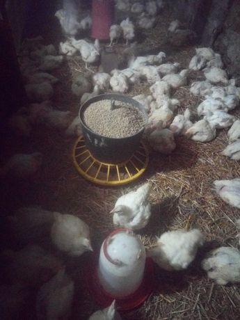 Kurczaki brojlery.       .