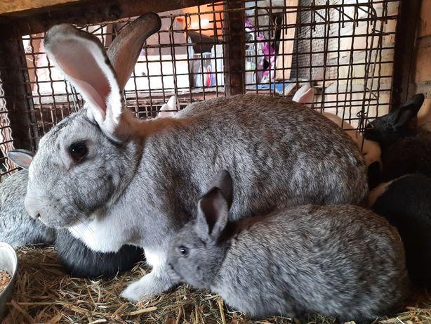 Продам кроликов 1 месяц и самку  великан...