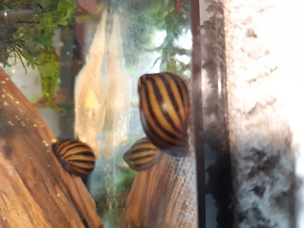Ślimak nertina zebra