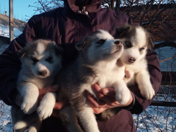 щенки сибирский хаски