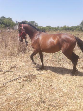 Cavalo castanho montado