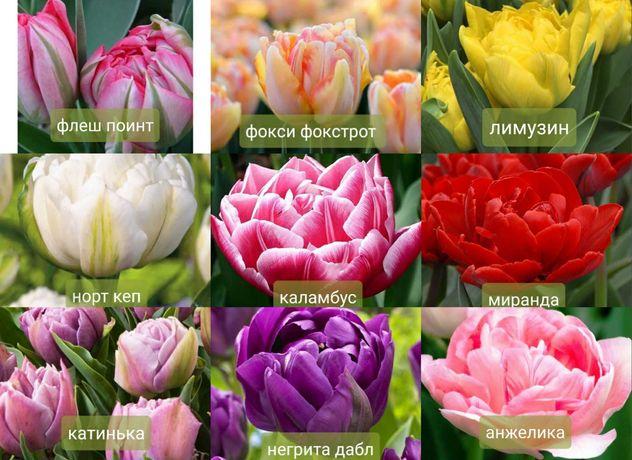 Луковица тюльпана 12+
